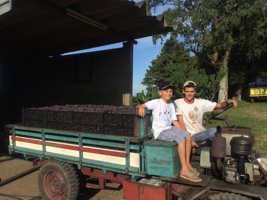 Zuchi sitio uvas - 156