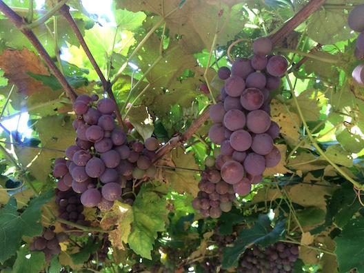 Zuchi sitio uvas - 28