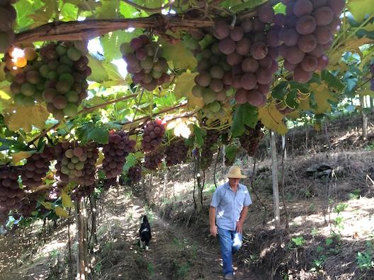 Zuchi sitio uvas - 34